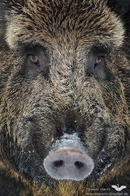 wild boar by thomas marth on 500px hd