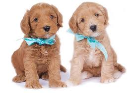 Legendary Labradoodles|Australian Labradoodles for Sale in Texas