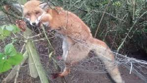 rspca warn over snare trap dangers in