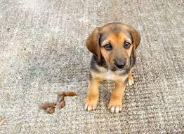 how to clean pet urine on carpet