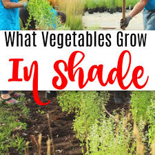 what vegetables grow in shade no sun