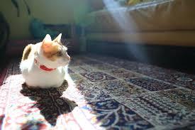 removing cat vomit on wool carpet