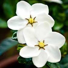 kleim s hardy gardenia plants