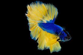 halfmoon betta fish siamese fighting