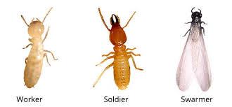 28+ Subterranean Termite Swarmers Gif