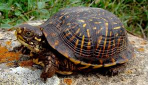 Box Turtles In Your Garden Can Teach You To Slow Down Hobby Farms