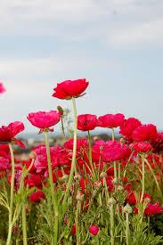 صور ورد أحمر من الطبيعة الجميلة صور ورد وزهور Rose Flower Images