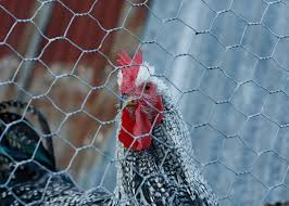 Chicken Fencing Which One Should You Choose
