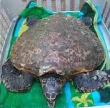 Ida rescues an endangered sea turtle - Coast KZN