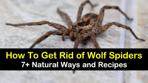 7 natural ways to get rid of wolf spiders
