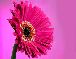 hd flower wallpapers pink page 2 of 3
