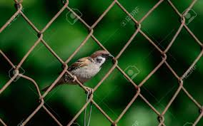 Eurasian Tree Sparrow In The Philippines On A Wire Fence Stock Photo Picture And Royalty Free Image Image 124558847