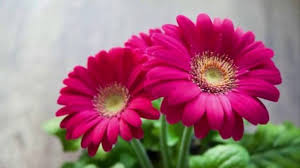 √ jenis jenis bunga lengkap dengan penjelasan serta gambarnya
