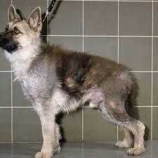 a male german shepherd dog with