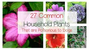 27 poisonous plants for dogs the