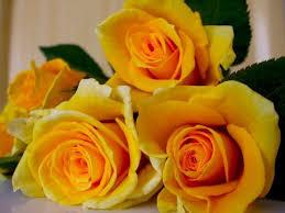 beautiful yellow roses 32 pics