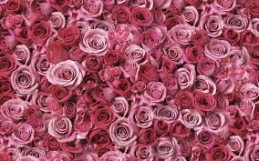 Nature Flowers Roses Pink Flowers Wallpapers