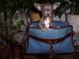 teacup chihuahua puppies akc