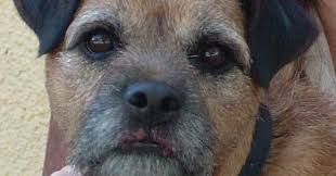woody a 4 year old male border terrier