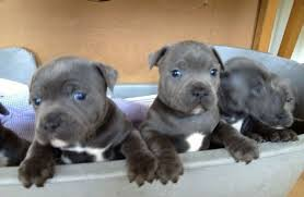 Staffordshire Bull Terrier Puppies For ...