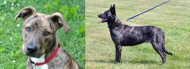 Mountain Cur vs Dutch Shepherd - Breed ...