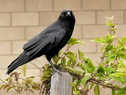 get rid of crows in your yard or garden