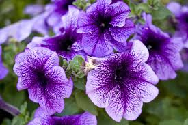 landscape plants with purple flowers