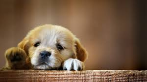 cute baby dog desktop wallpapers dogs