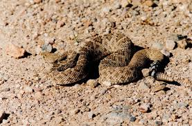 Flickr The Rattlesnakes Of The Western United States Pool