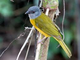 Gray-headed Tanager - eBird