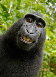 سيلفي القرد ويكيبيديا