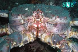 King Crab Invasion