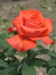 rose red flower roses flowers
