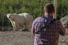 Summer Polar Bear Photo Album Churchill Wild Polar Bear Tours