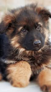 cute german shepherd dog 750x1334
