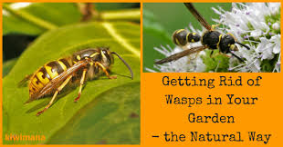 how to get rid of wasps in your garden