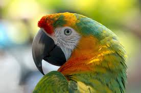 why do parrots bob their head up and down