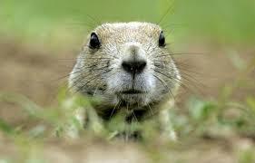 Les lemmings: des conformistes fous? | Le Devoir