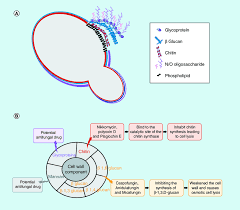 structure of the fungal cell wall and