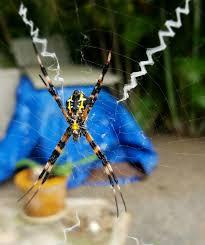 hawaiian garden spiders facts