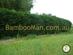 Bamboo Plants For Hedging Fence Screening Bambooman