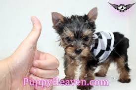 mini me micro teacup yorkie puppy in
