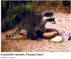 Garden Fountain Attracting Raccoons Hort Coco Uc Master Gardener Program Of Contra Costa Anr Blogs