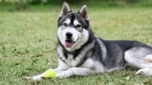 Can A Hidden Fence Work For A Siberian Husky Dogwatch