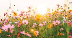 Campo de flor bonita cosmos | Foto Premium