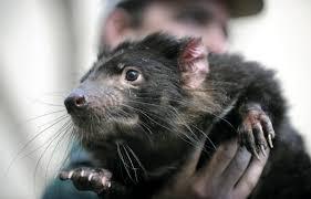 Il Diavolo della Tasmania rischia l'estinzione a causa di una misteriosa  malattia