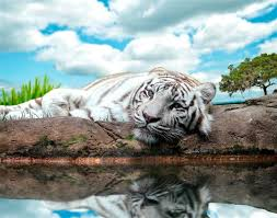 White Tiger Wall Decal Vinyl Animal Poster Tiger Wall Sticker Etsy