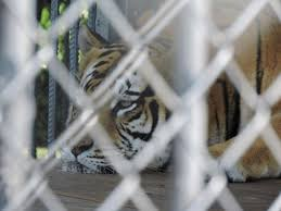 America Has A Tiger Problem And No One S Sure How To Solve It Science Smithsonian Magazine