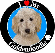 Amazon Com I Love My Goldendoodle Car Magnet With Realistic Looking Goldendoodle Photograph In The Center Covered In Uv Gloss For Weather And Fading Protection Circle Shaped Magnet Measures 5 25 Inches Diameter Pet