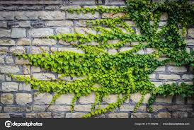Green Ivy Stone Wall Beautiful Background — Stock Photo © dec925 #211195282